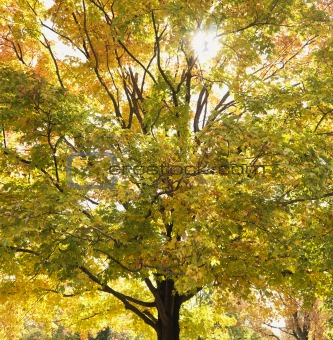 Maple tree in autum.