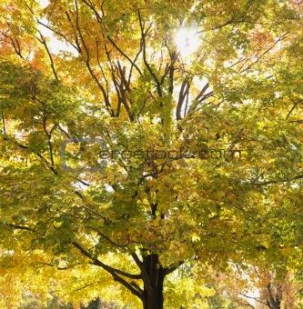 Maple tree in autum.