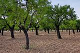 Almond trees