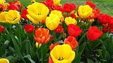 Tulips in Town Garden