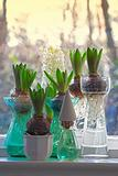 hyacinth bulbs