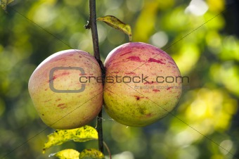 Apples in late fall