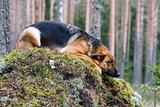 Germany Sheep-dog laying on the stone