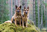 Two Germany shepherds sitting on the stone