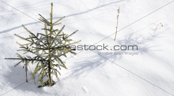To small fur-tree in coldly winter.