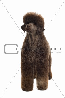 brown king poodle 