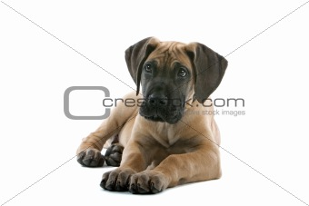 great dane puppy dog