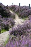 Heather Path