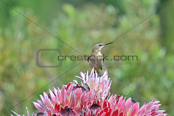Cape sugarbird on protea flowers