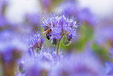 Field of Phacelia