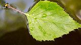 The fresh green birch leaves