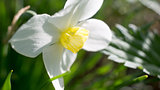 Plumeria flowers several