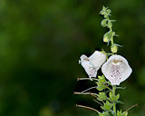 White Bell Flowers Foxglove