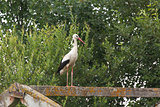 White stork stands on the feet