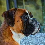 Attentive boxer dog fawn female