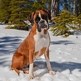 Fawn female boxer dog sitting in the snow