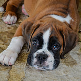 Look beautiful boxer puppy lying on the stone