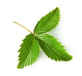 Wild strawberry leaf rotated