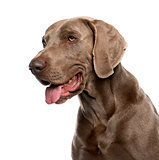 Close-up of Weimaraner (2 years old) in front of a white backgro