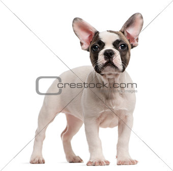 French Bulldog (3 months old) standing in front of a white backg