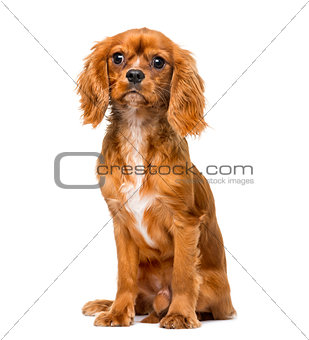 Cavalier King Charles Spaniel (8 months old) in front of a white