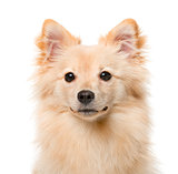 German Spitz (7 months old) in front of a white background