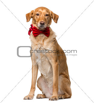 Crossbreed (8 years old) in front of a white background