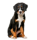 Bernese Mountain Dog puppy (5 months old) in front of a white ba