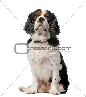 King Charles Spaniel (5 years old) in front of a white backgroun