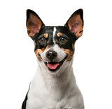 Jack Russell Terrier (7 years old) in front of a white backgroun