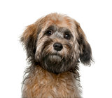 Havanese puppy (4 months old) in front of a white background