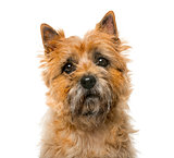 Close-up of a Cairn Terrier (5 years old) in front of a white ba
