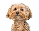 Yorkshire terrier in front of a white background