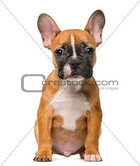 French Bulldog puppy in front of white background