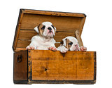 English bulldog puppies in a wooden chest in front of white back