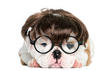 English bulldog puppy wearing a wig and glasses in front of whit