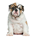 English bulldog puppy wearing glasses in front of white backgrou