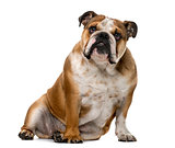 English Bulldog (1 year old) in front of a white background