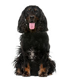 American Cocker Spaniel (4 years old) in front of a white backgr