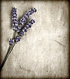 Lavender flowers isolated on gray grunge background