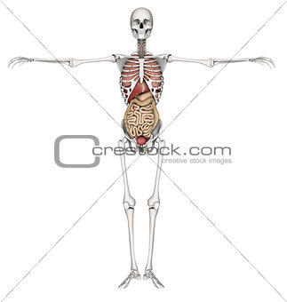 3D skeleton with internal organs