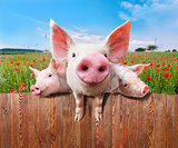 Three charming pigs from wonderful farm.