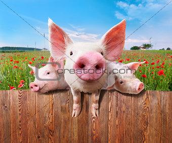 Three charming pigs from wonderful farm.