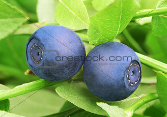 Forest blueberries