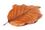 Dry autumn leaf of magnolia on white background