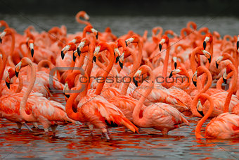 Flock of greater flamingos