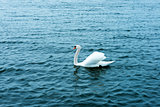 white swan on the waters lake