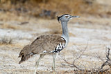 Kori Bustard in african bush