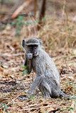 Vervet monkey, Chlorocebus pygerythrus