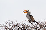 Yellow-billed Hornbill sitting on a branch and rest